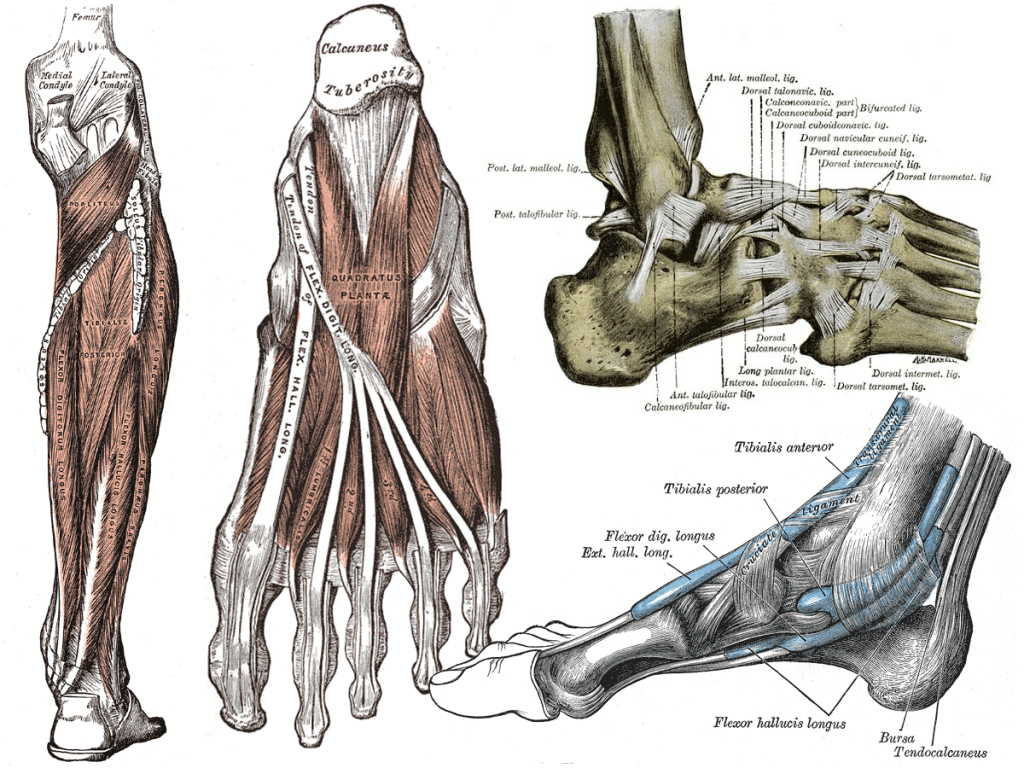 Vintage illustrations of the parts of a foot.